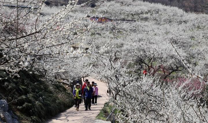 Tempat-Wisata-Di-Korea-Selatan-Saat-Musim-Semi-Gwangyang-Maehwa-(Plum-Flower)-Maeul