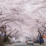 Tempat-Wisata-Di-Korea-Selatan-Saat-Musim-Semi-Hadong-Ssanggyesa-Temple-Simni-Cherry-Blossom-Road