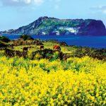 Tempat-Wisata-Di-Korea-Selatan-Saat-Musim-Semi-Jeju-Seopjikoji-Canola-Flower