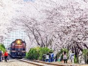 Tempat-Wisata-Di-Korea-Selatan-Saat-Musim-Semi-Jinhae-Cherry-Blossom-Tunnel