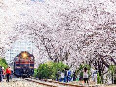 Tempat-Wisata-Di-Korea-Selatan-Saat-Musim-Semi-Jinhae-Cherry-Blossom-Tunnel